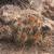 Austrocactus gracilis JN 1397 (Dina Huapi, Rio Negro, 921m, Arg)