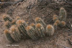 Austrocactus dusenii JN 1080 (Telsen, Chubut, 405m, Arg)