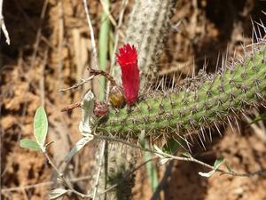 Bolivicereus samaipatanus MN 589 (SE Mairanana, 1444m, Bol)