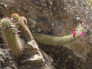 Cleistocactus candelilla MN 650