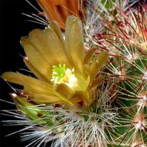 Echinocereus chloranthus (El Sueco, Chihuahua, Mex)