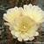 Eriosyce chilensis v. albidiflora FK 192 (Pichidanqui)