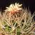 Eriosyce confinis FK 528 (Sra Hornillos, S Copiapo)