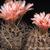 Eriosyce crispa subsp. atroviridis FK  65 (S Canton de Agua, Chile)