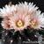 Eriosyce crispa subsp. atroviridis FK  69 (Freirina, 200m)