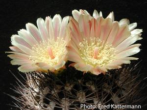 Eriosyce crispa ssp. atroviridis FK 105