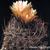 Eriosyce crispa subsp. atroviridis FK 160 (10 kms S Freirina)