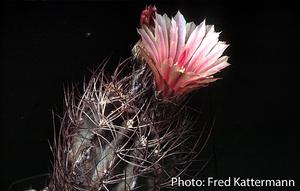 Eriosyce crispa ssp. atroviridis FK 397 (2 km N Vallenar)