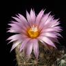Escobaria vivipara v. kaibabensis LZ 104 (Kaibab Plateau, 2200m, AZ, USA)