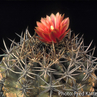 Eriosyce curvispina v. tuberisulcata FK 251 (Laguna Verde, Chile)