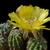 Lobivia chrysantha MN 96 (Santa Rosa de Tastil, Salta, 3250m, Arg)