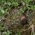 Lobivia maximiliana v. corbula TB 288.1 (Cuzco, 3801m, Peru)