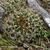 Lobivia maximiliana v. TB 941.1 (East of Cotabambas, 4114m, Apurimac, Peru)