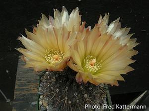 Eriosyce heinrichiana v. setosiflora FK 11 (Quebr. Las Palmas)