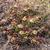 Tephrocactus darwinii JN 1379 (Chubut (Estancia San Eduardo, 252m, Arg)