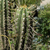 Trichocereus cuzcoensis TB 946.2 (Phiry, West of Ollantaytambo, 2778m, Cuzco, Peru)