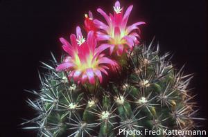 Eriosyce subgibbosa v. castanea FK 202 (W Santa Cruz, 500m)
