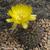 Lobivia haematantha v. elongata TB 376.1 (San Jose de Escalchi, Salta, Arg)