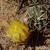 Lobivia pugionacantha TB 231.1 (Villazon, Potosi, 3845m, Bol)