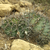 Echinopsis spec. TB 521.3 (San Jose de Paredon, Tarabuco to Icla, Chuquisaca, Bol)