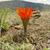Lobivia calorubra v. mizquensis TB 098.1 (Mizque, Cochabamba, Bol)