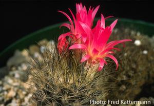 Eriosyce villosa  FK 71 (3 km N Huasco)