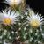 Escobaria missouriensis v. asperispina DJF 624 (San Juan de Solio, NuevoLeon, Mexico)