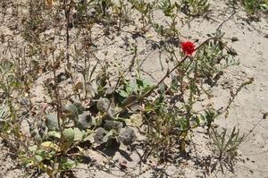 Cistanthe spec. RH 4880b (Camana, Arequipa, Peru)