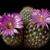 Escobaria vivipara v. buoflama (Bagdad, AZ)