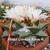 Ariocarpus retusus 'Mesa Garden form C'