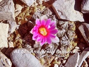 Ariocarpus fissuratus AL 61 (Hot Springs, TX)