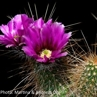 Echinocereus apachensis (USA, Arizona, Apache Trail)