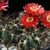 Acanthocalycium thionanthum v. erythrantha  WR 763 (Paranilla-Arca Yaco, 3000m, Arg)