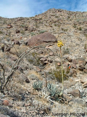 Agave desertii (Box Canyon, CA)