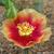 "Opuntia macrorhiza ""Ohio"""