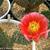 Opuntia woodsii hybrid
