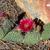 Opuntia polyacantha 'reds'