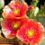 Opuntia pottsii & hybrids