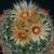 Escobaria missouriensis JRT 4142 (Nolan Co, TX)