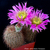 Echinocereus reichenbachii ssp. baileyi JRT 219 (Granite, Greer Co, OK)