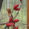 Peniocereus marianus