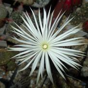 Seti-echinopsis mirabilis (Colonia Ceres, Arg)