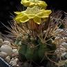 Weingartia pygmaea  HTH 029/99 (Tupiza to Mochara Pampa to Mal Paso Impora, 4200m, Bol)
