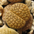Lithops hallii 'brown' C 136 (35 km ENE of Strydenburg, South Africa)