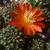 [PLANT/PFLANZE] Rebutia padcayensis MN 521