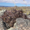 Austrocactus bertinii JN 1390 (Perito Moreno, Santa Cruz, 437m, Arg)