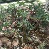 Adenium obesum 'arabicum'
