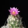 Escobaria hesteri ssp. grata MK 140.430A (Melchor Mizquiz, Coahuila, Mexico)