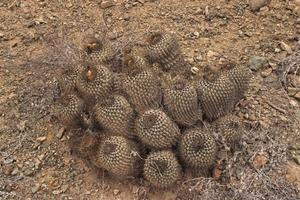 Copiapoa eremophila JN 717 (Caleta Rincon, Antofagasta, 48m, Chile)
