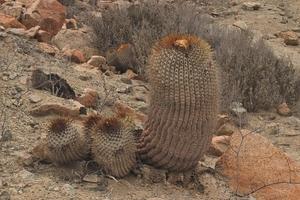 Copiapoa cinerea v. haseltoniana 'gigantea' JN 715 (Caleta Olivia, Antofagasta, Chile)